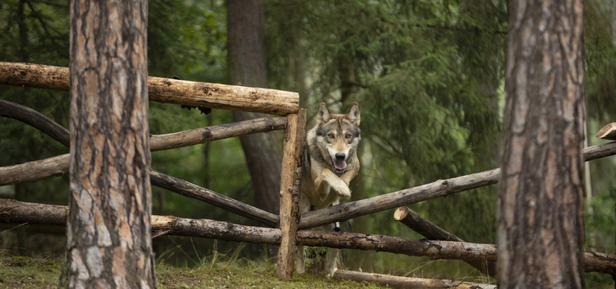 Když se zamilujete do vlka